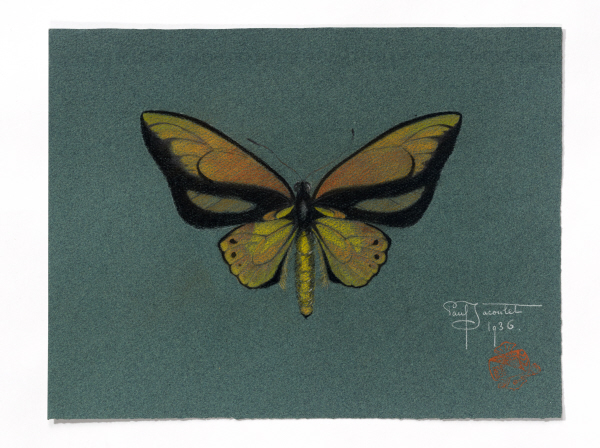 Ornithoptera Lydius (Papillon)