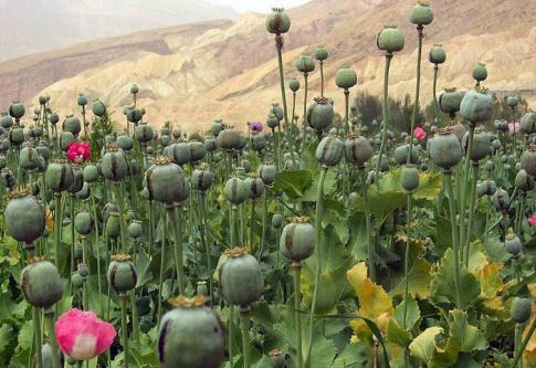 2905-PavotAfghan