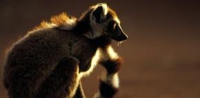 Madagascar : Il faut sauver les lémuriens!