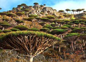 Socotra, un jardin d'aliens au large duYémen