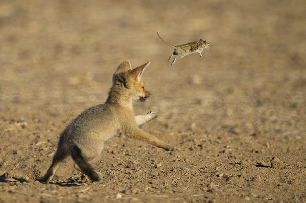 A Cape fox cub plays with a mouse (Vulpes chama) in Kgalagadi Transfrontier