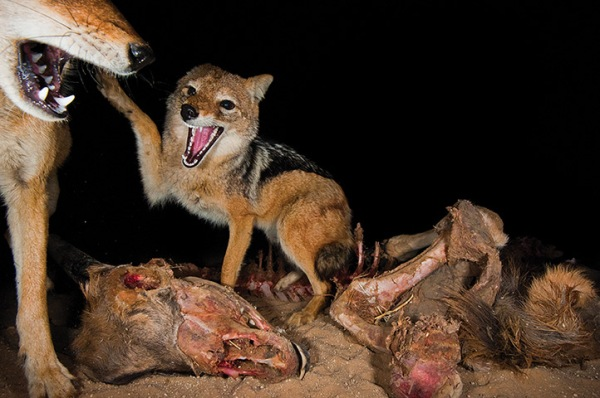 A group of jackals fight over the remains of a carcass