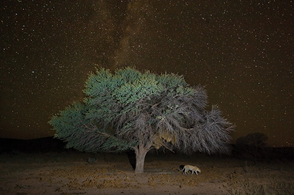A leopard walks beneath a large tree in the Kgalagadi Transfrontier Park