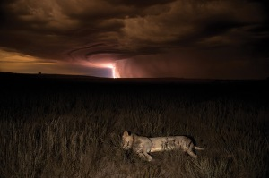 A lion asleep in the Kalahari under a lightening-filled sky