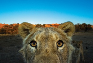 A lion takes a closer look