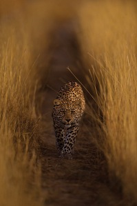 Luna the leopardess walks through a field of high grass