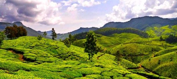 Kerala_Munnar_Tea_plantation[1]