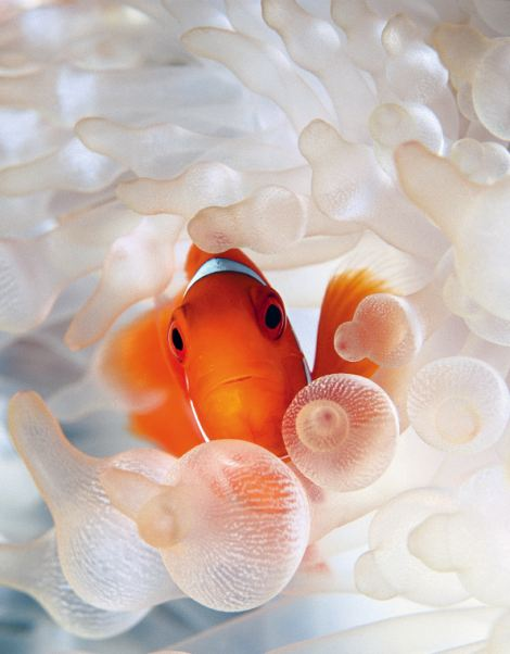 Spine cheek clownfish in bleached anemone Papua New Guinea
