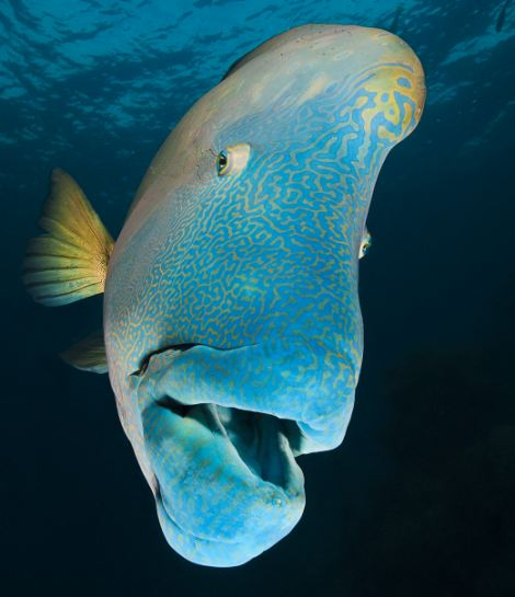 Maori (humphead wrasse) Chelinus undulatus at Opal Reef  Great Barrier Reef Australia