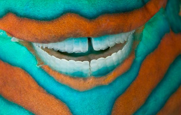 parrotfish smile, heron island Great barrier reef Australia