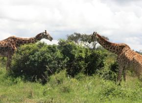 Kenya : le parc national de Nairobi au bord del'asphyxie
