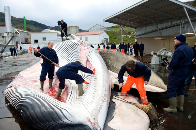 TO GO WITH AFP STORY BY YANN OLLIVIER : LES BALEINES POURRAIENT GRIPPER L'ADHESION DE L'ISLANDE A L'UE  (FILES) In this file picture taken on June 19, 2009 Icelandic whalers cut open a 35-tonne fin whale, one of two fin whales caught aboard a Hvalur boat off the coast of Hvalfjsrour, north of Reykjavik, on the western coast of Iceland. European Union leaders agreed on June 17, 2010 to open membership negotiations with Iceland despite differences over whale hunting and a bank collapse that hit British and Dutch investors. AFP PHOTO / Halldor Kolbeins