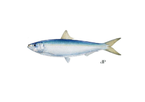 Méditerranée : où sont passés les anchois et les sardines?